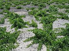 220px-Grapes_in_Santorini.jpg